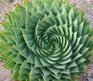 Aloe_polyphylla_Spiral_Aloe_9302.pg